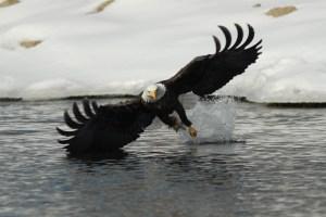 Bald eagle photograph fishing