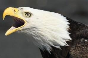 Screaming bald eagle of the Kenai Peninsula, Alaska