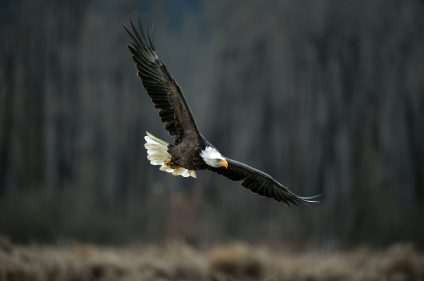 Bald eagle in flight near Haines Alaska