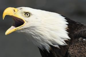 PHOTO TUTORIAL – THE RIGHT LIGHT FOR BALD EAGLE PHOTOGRAPHY