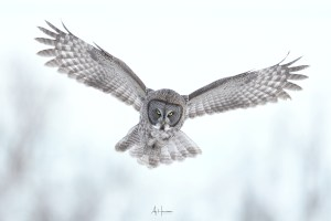 PHOTO TUTORIAL – PHOTOGRAPHING THE GREAT GRAY OWL