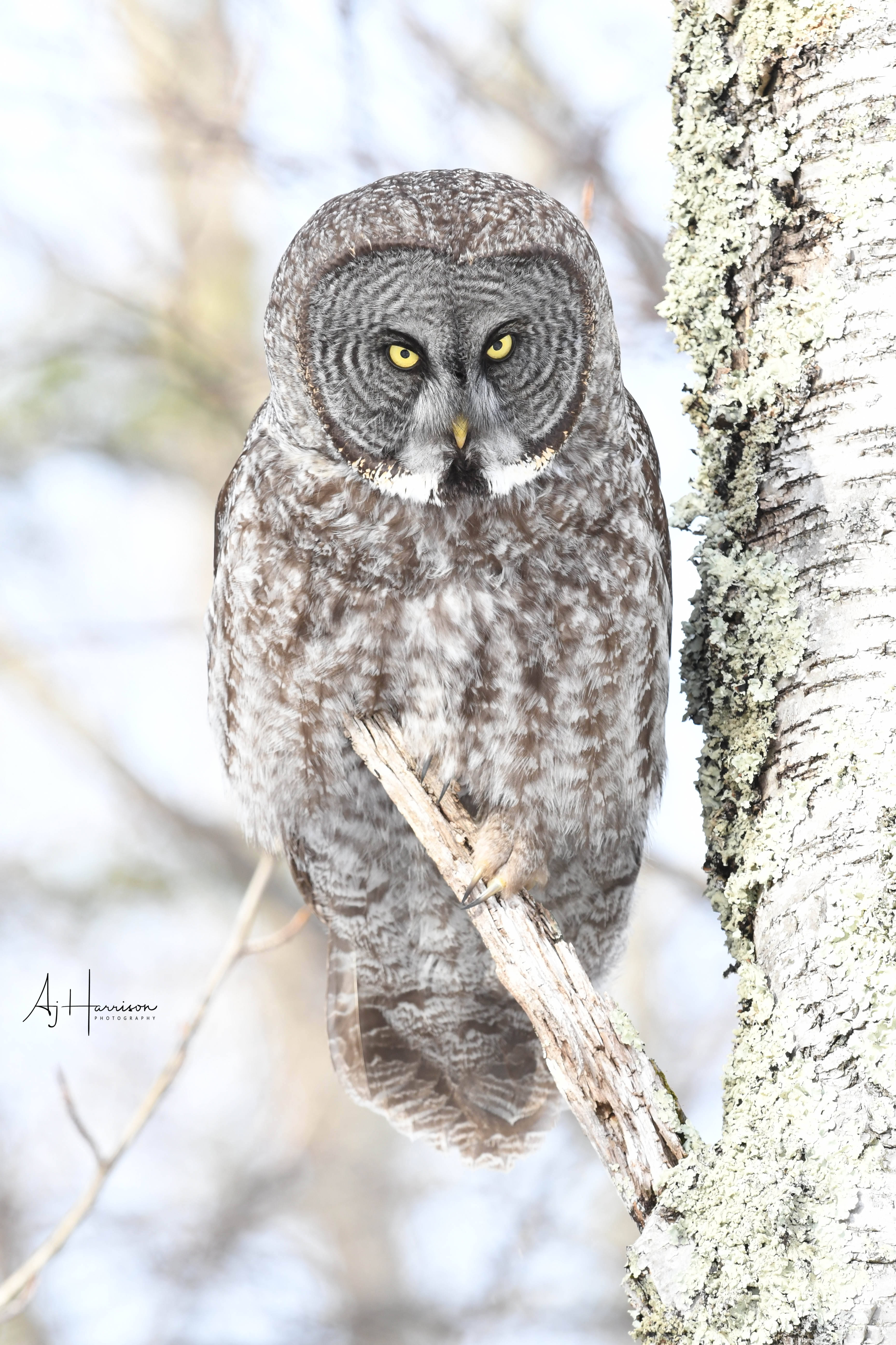Great Gray Owl Portrait