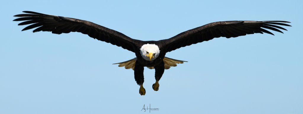 Eagle in flight. Photo tour of Homer, AK.