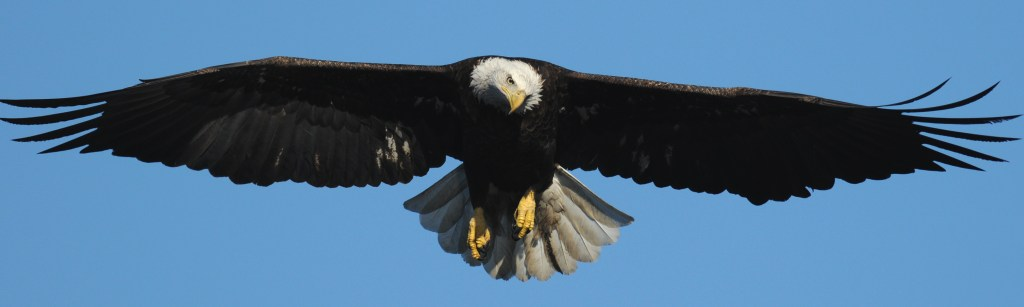 bald eagle shows off wing span