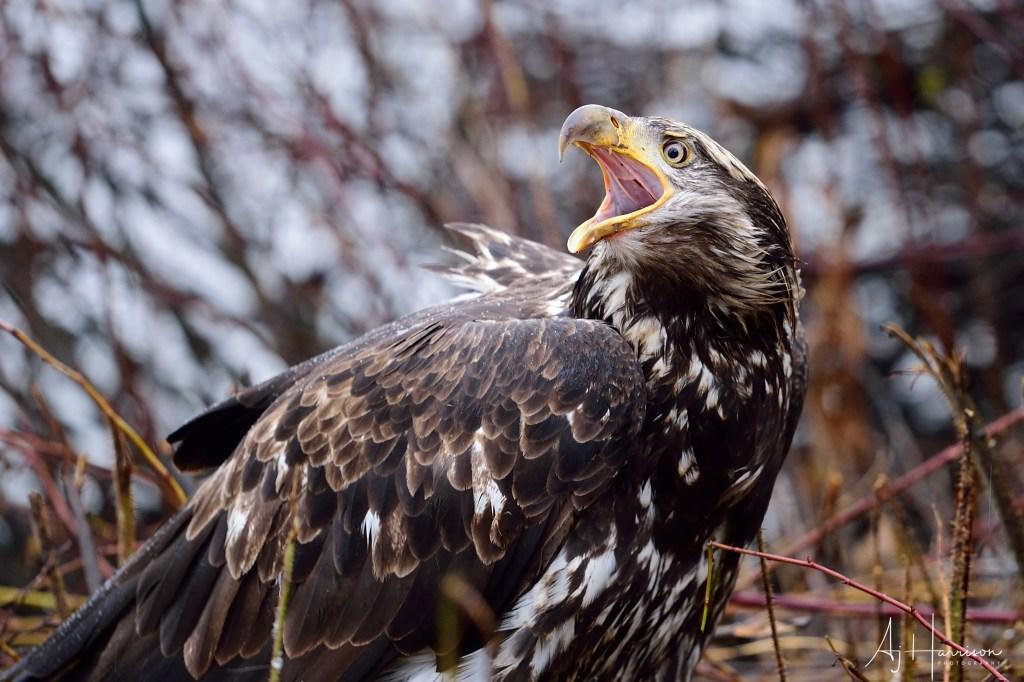 Juvenile bald eagle vocalizing