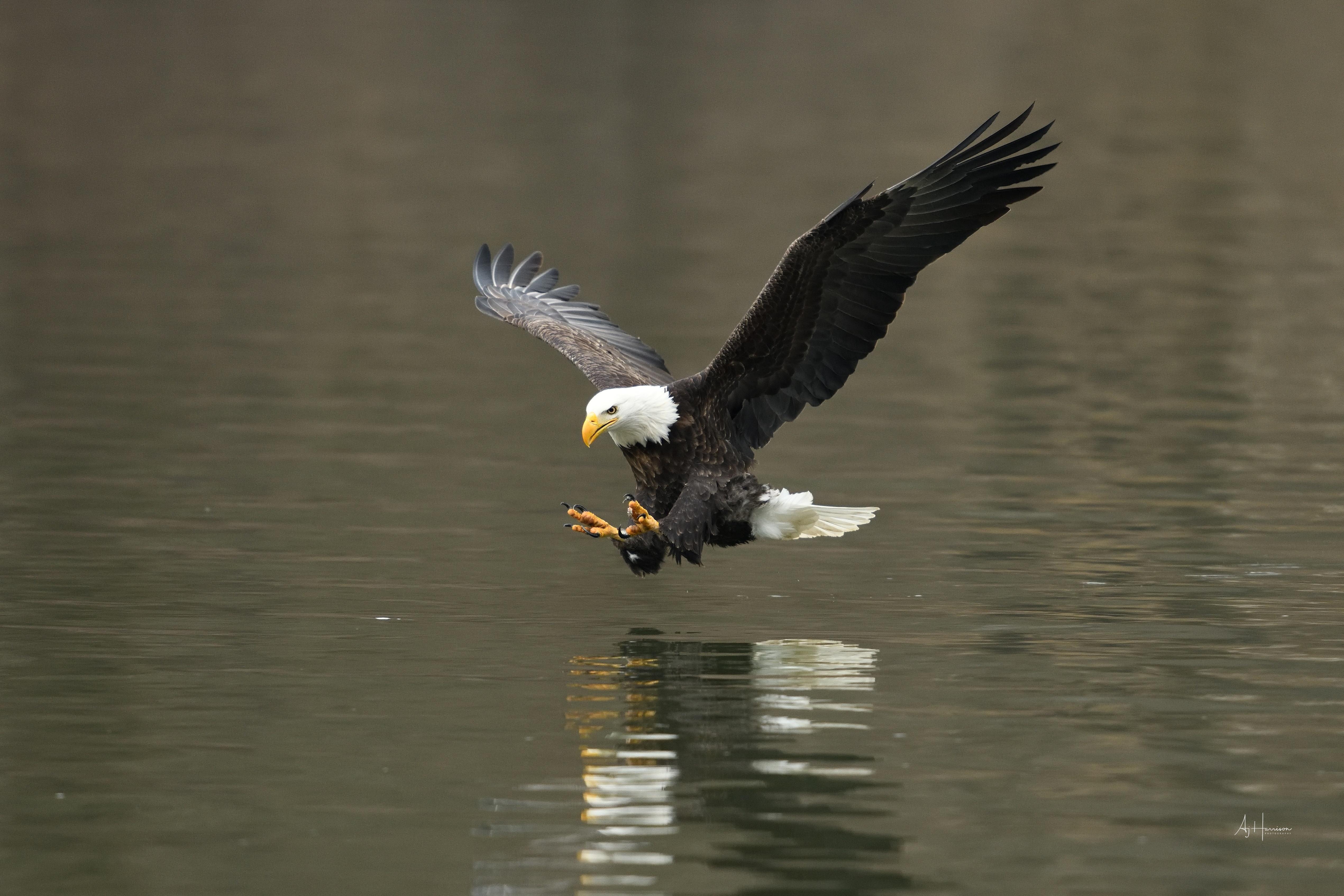 bald eagle fishing in iowa