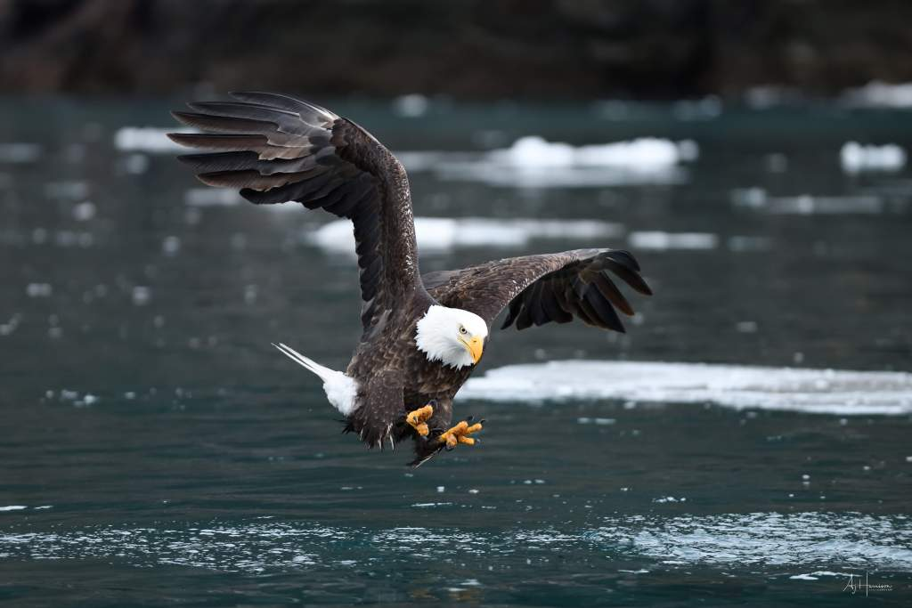 Bald eagle fishing in Homer