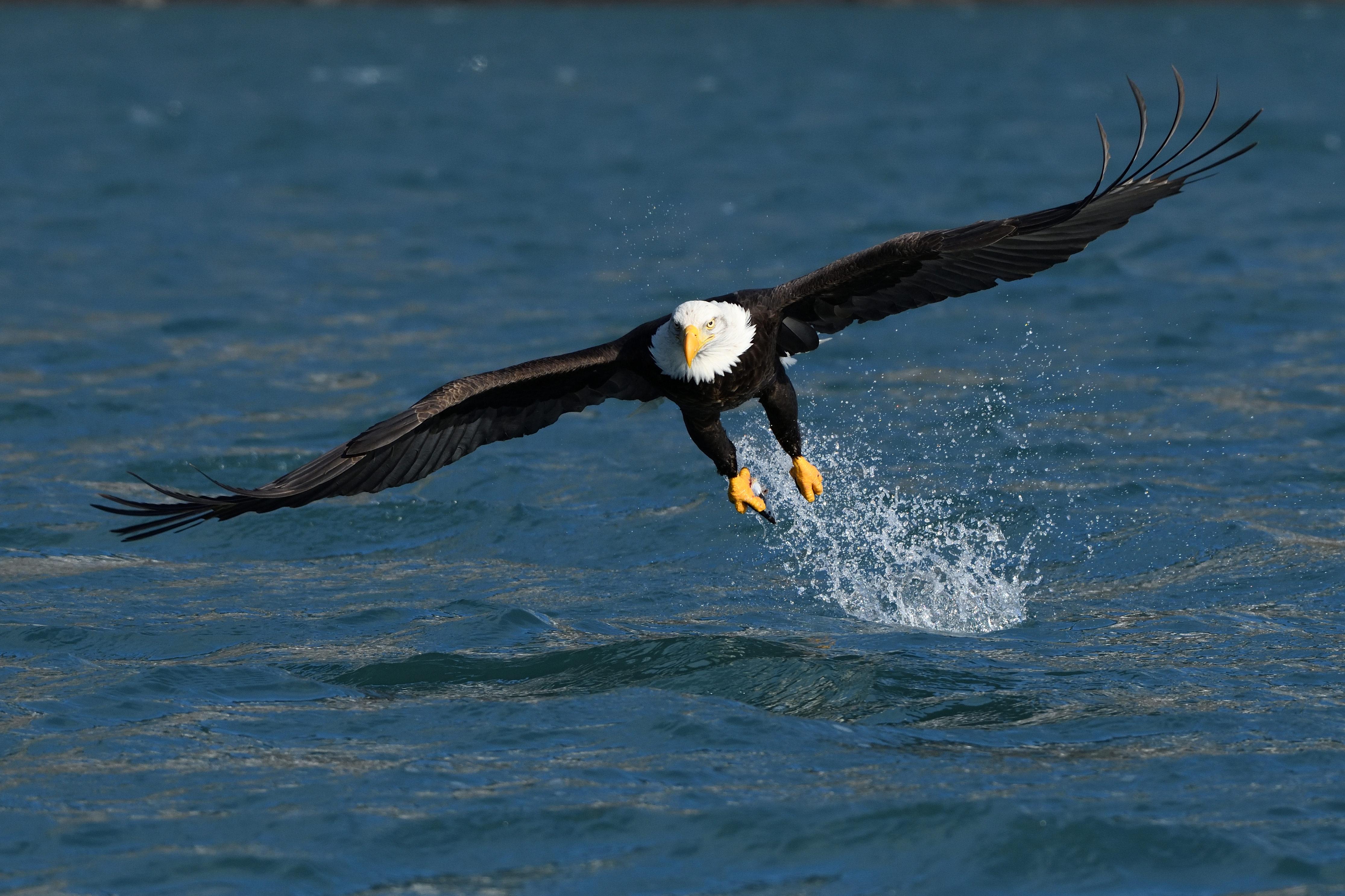 Homer Bald Eagle Fishing