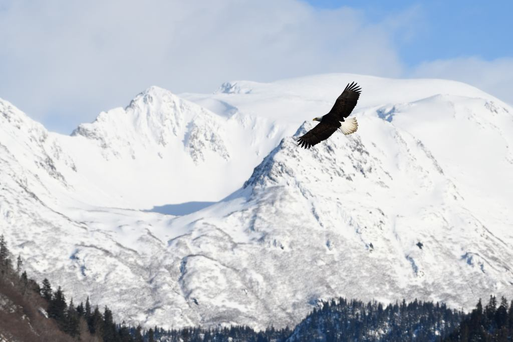 Homer Alaska Bald Eagle Photography