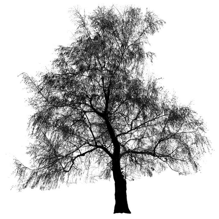 Birch Tree, Capitol Lake, Photo by Allan J Jones