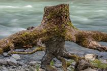 Stranded Stump, Graves Creek campground, Olympic National Park, 14May2018, Photo by Allan J Jones