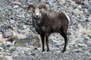 Sheep, Alaska Highway, Photo by Allan J Jones