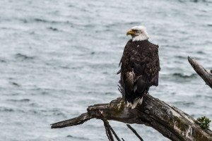 Eagle on Lutak Inlet, Haines, Alaska, Photo by Allan J Jones