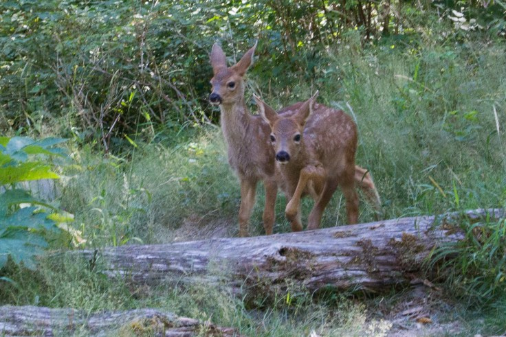 Twin Fawns, Elwha Valley, Olympic National Park by Allan J Jones
