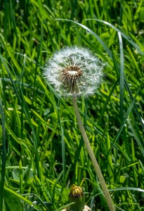 Dandelion, mostly blown away by Allan J Jones Photographer