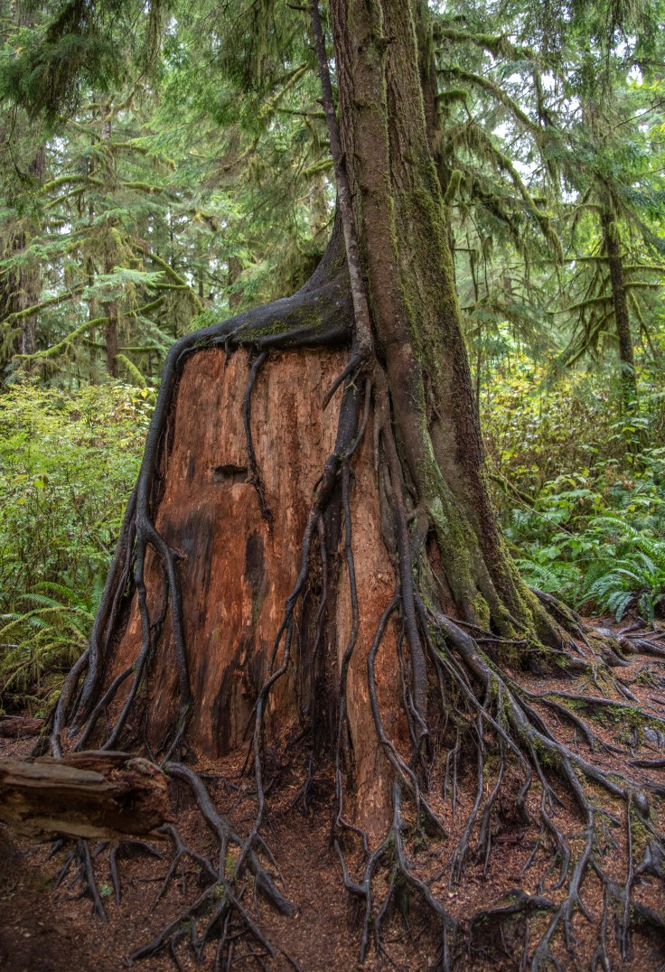 Tree on nurse stump by Allan J Jones Photography