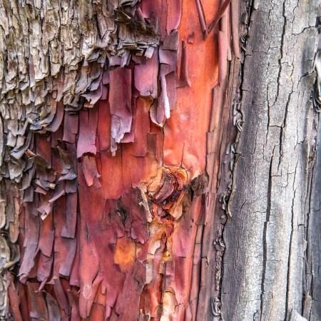 Madrone Bark Detail by Allan J Jones