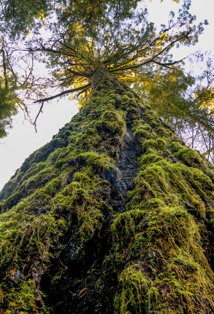 Elwha Doug Fir Focus Stacked by Allan J Jones Photography