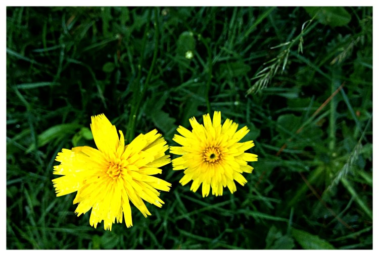 Dwarf Dandelion (Krigia genus) is more delicate than the lawn weed.