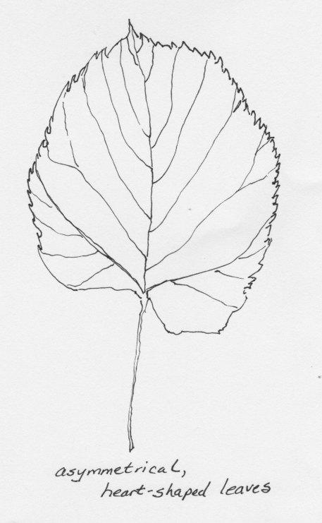 American basswood leaf