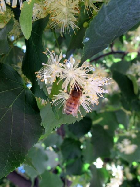 bee on American basswood tree flower