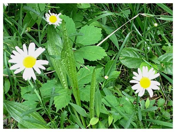Oxeye daisy ( Chrysanthemum leucanthemum)