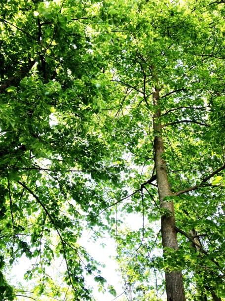 American basswood trees