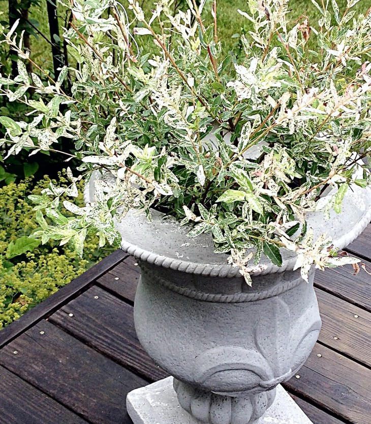 Japanese willow in formed concrete patio pot
