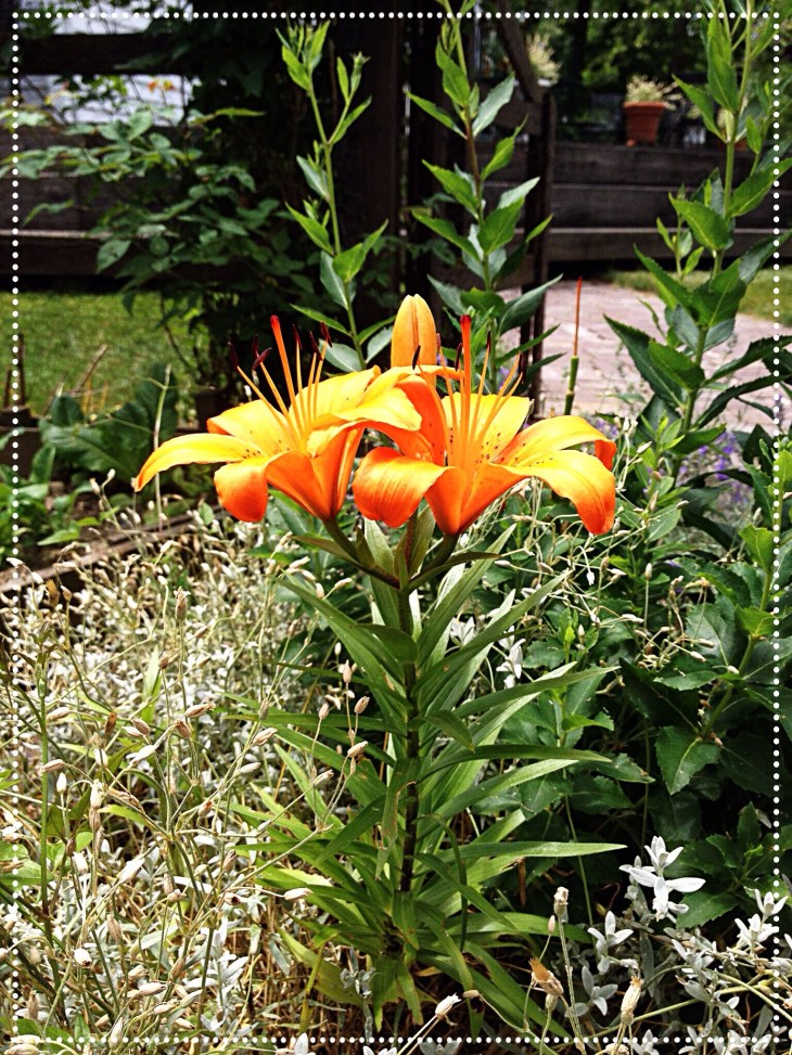 Photo of bright orange Asiatic lily