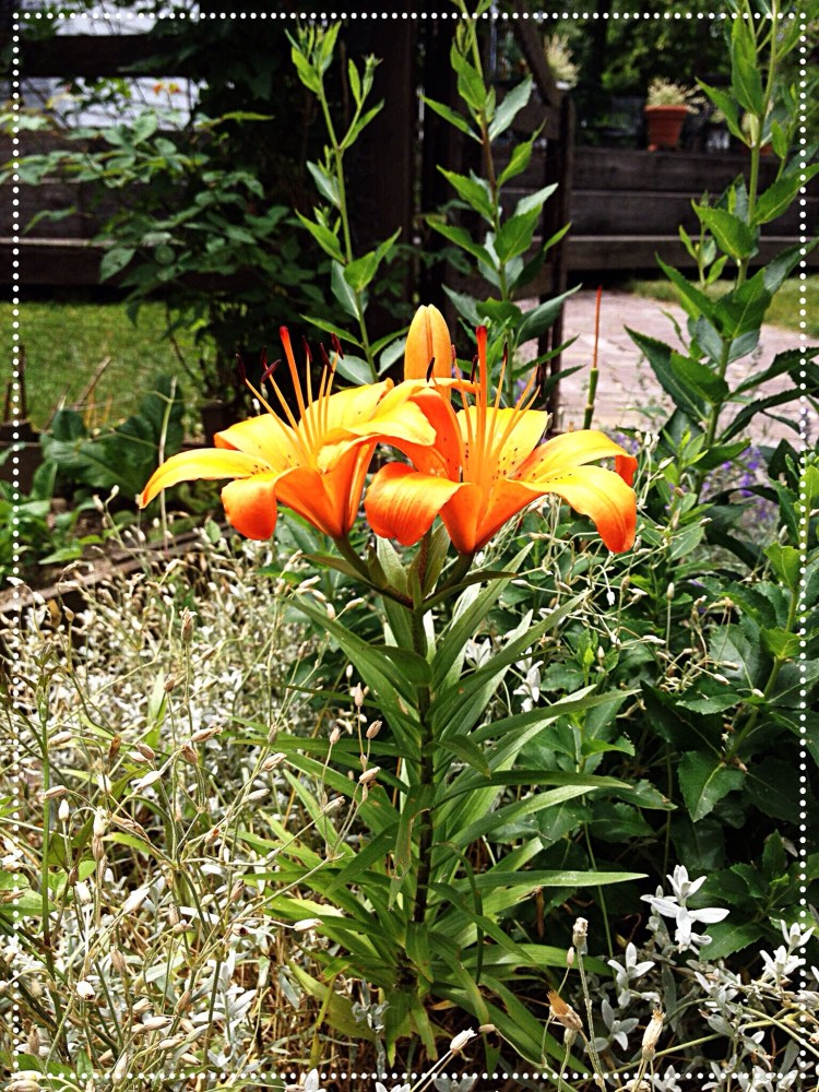 Photo of bright orange Asiatic lily