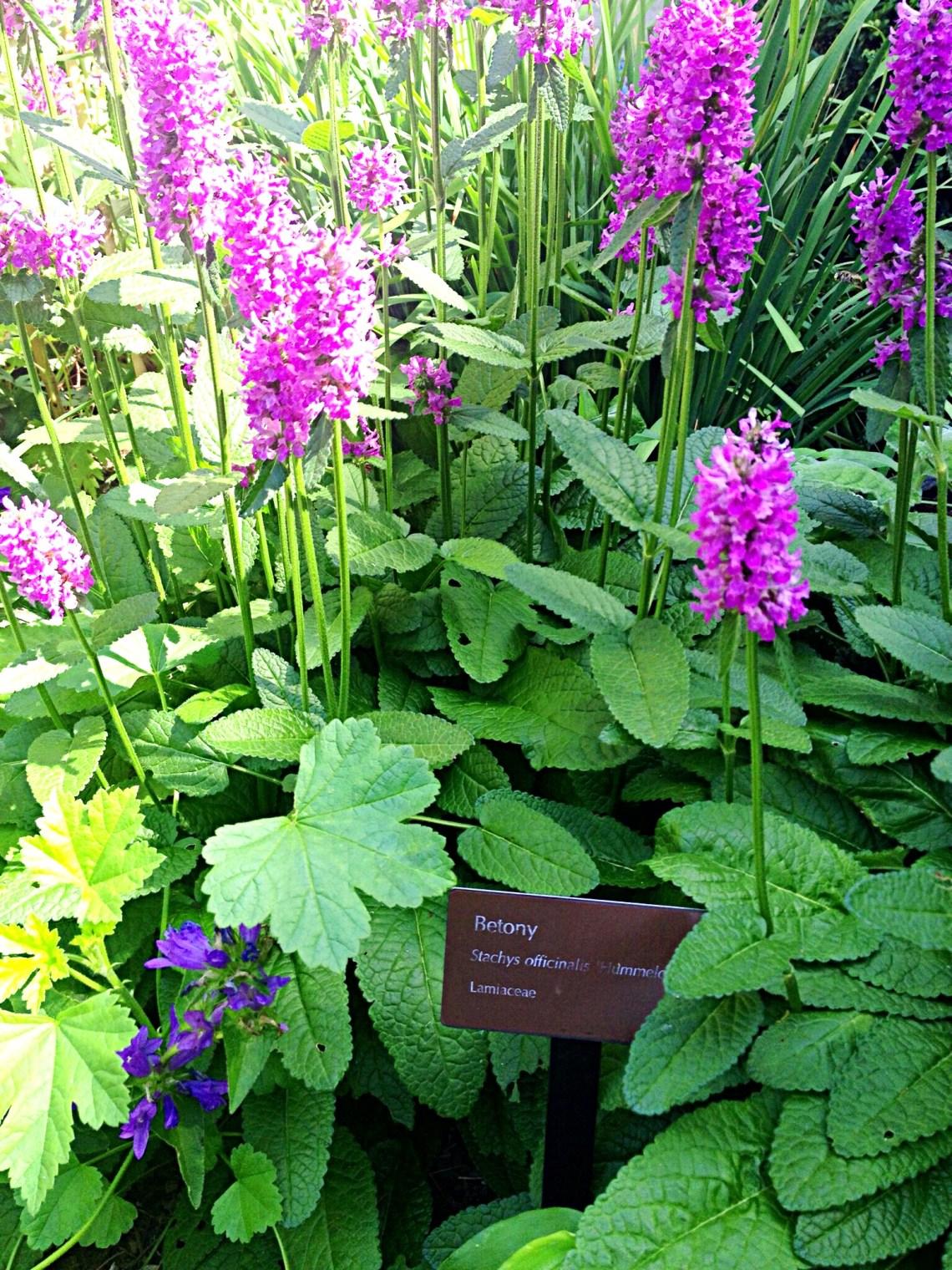 Photo of purple Betony flowers.