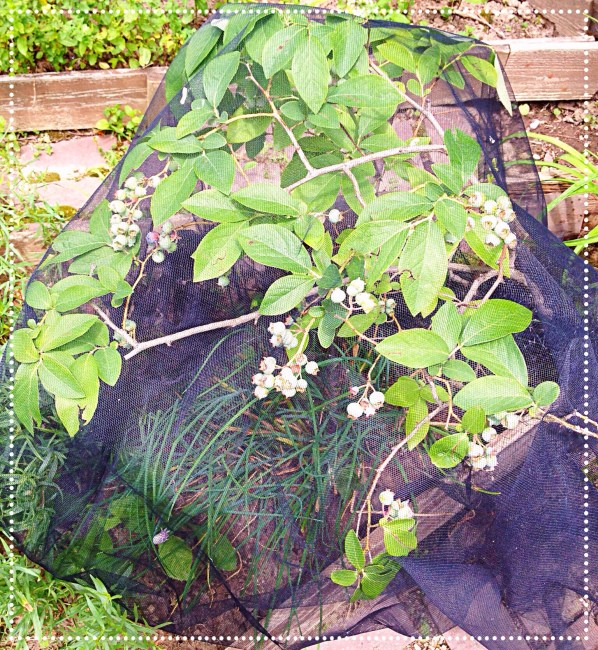 photo of blueberry bush covered with tulle netting.