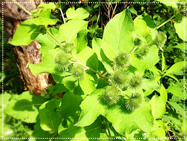 Photo of Burdock (Arctium)