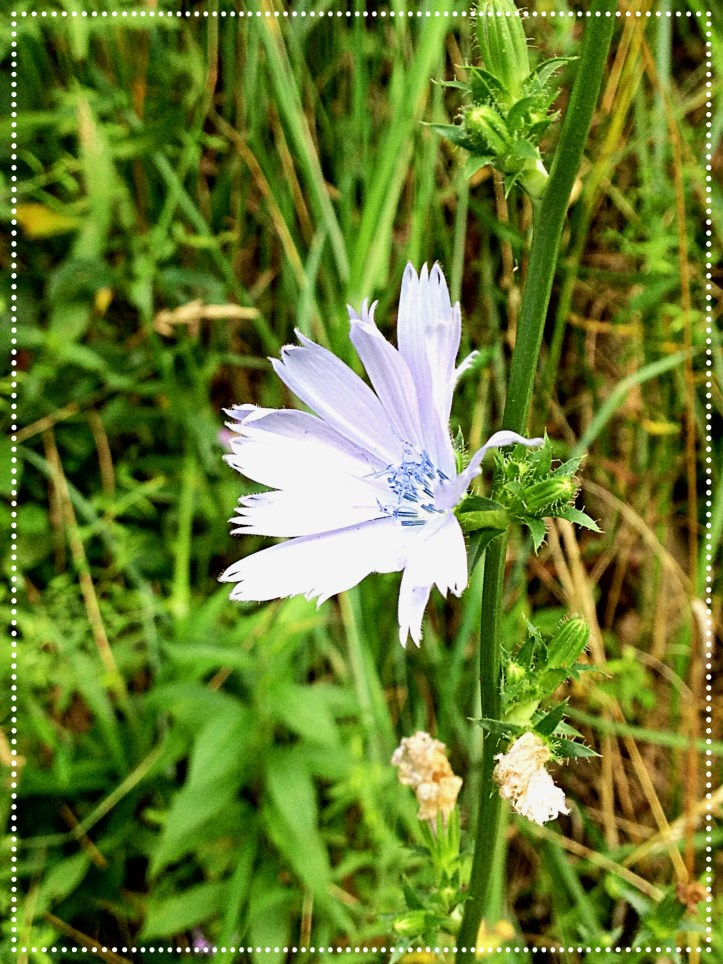 Photo of Chicory (Cichorium intybus)
