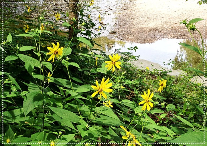 Photo of Sawtooth Sunflower (Helianthus grosseserratus)