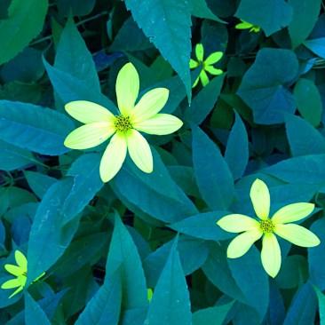 Photo of False sunflower (Heliopsis helianthoides)