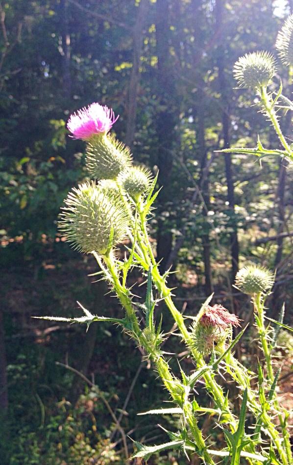 photo of Canada thistle (Cirsium arvense)