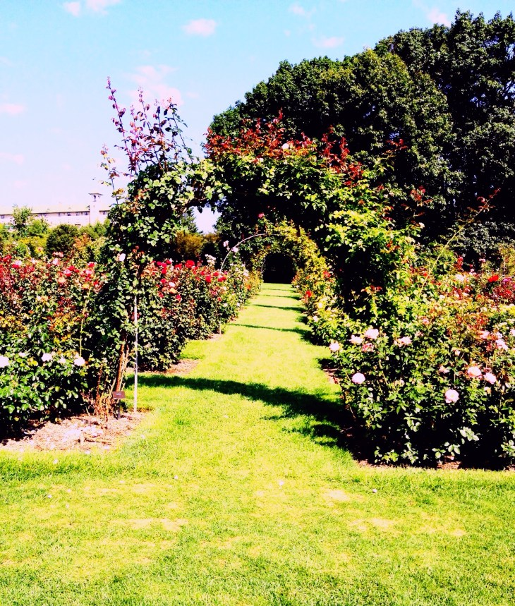 Arches are embraced by climbing roses.