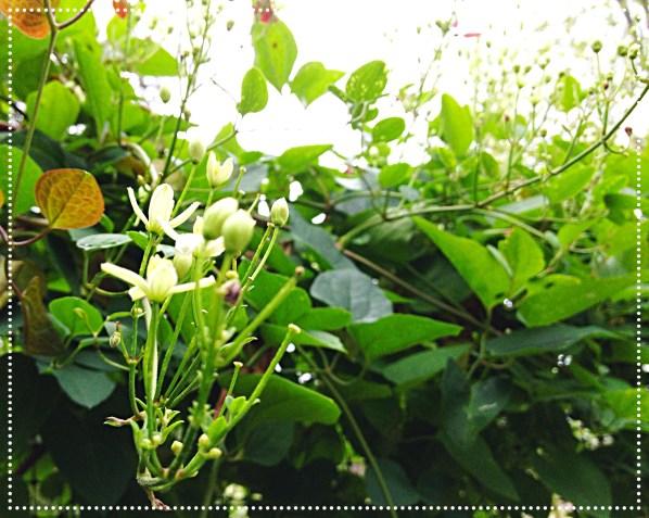 clematis bloom