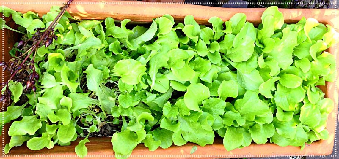 green leaf lettuce