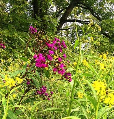 Tall Ironweed (Vernonia gigantea)
