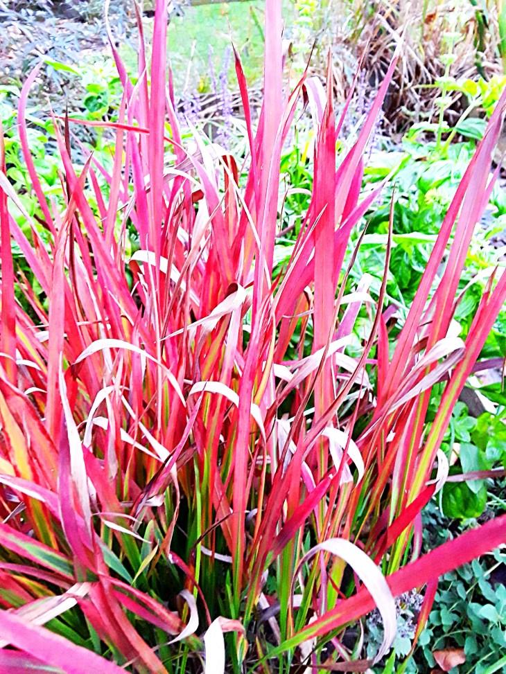 bloodgrass