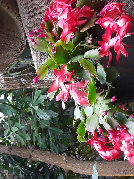 Christmas cactus blooms in a bright cherry color