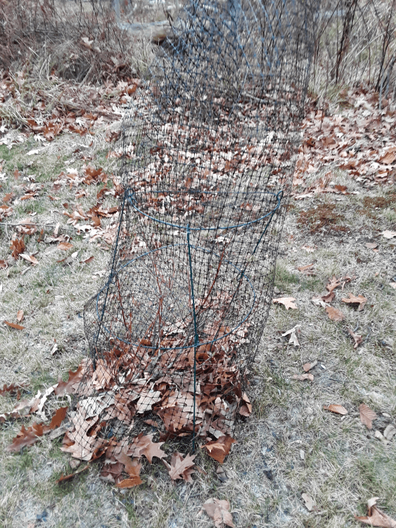 Deer netting around a peony hoop