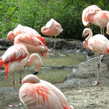 Flamingos gather around water to feed on shrimp
