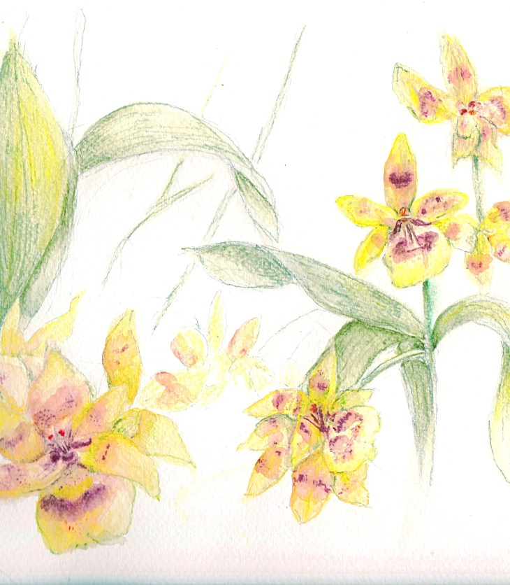 watercolor pencil sketch of orchids