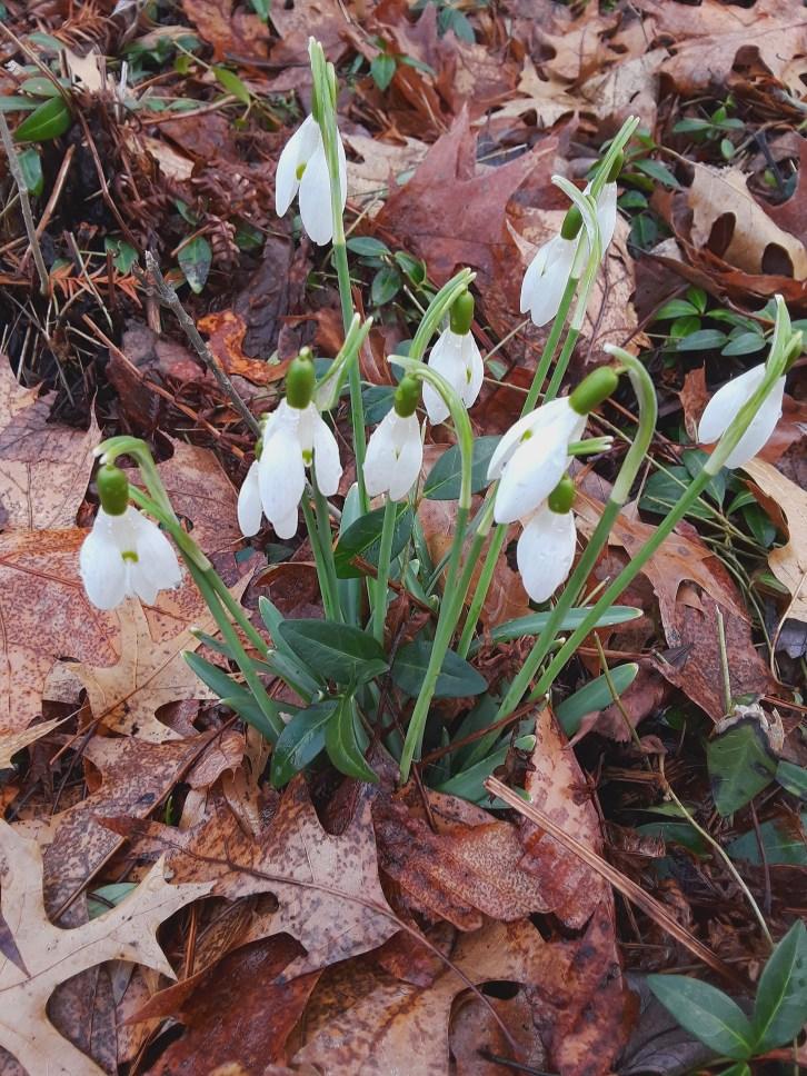 white snowdrop flowers push up through fallen oak leaves