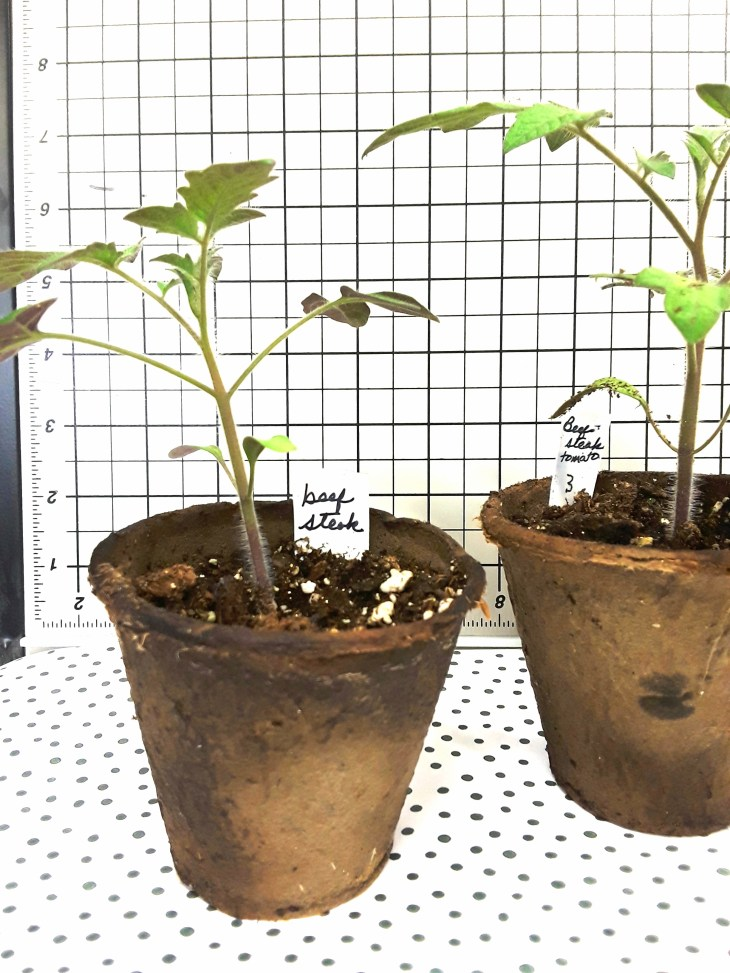 beefstaek seedlings in peat pots are close to 8 inches tall in early April