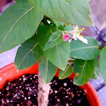 "Honeysuckle ""Hawkeye"" bloom is pink, with bright and prominent yellow stamen."