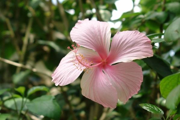 hibiscus sabdariffa is the edible hibiscus